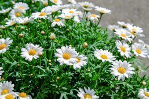 daisies-1373075_1280